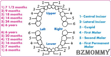 teething-chart-2ma